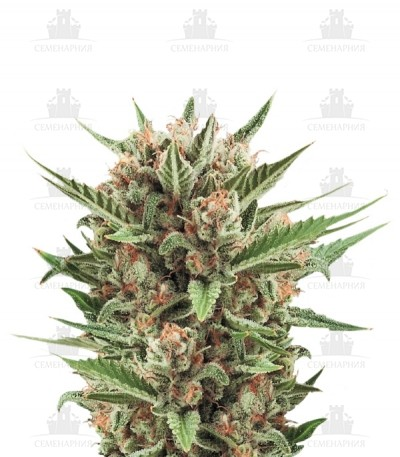 Сорт Sweet Skunk Automatic fem (Royal Queen Seeds)